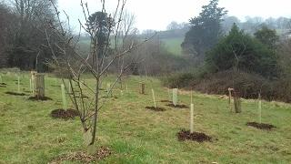 Young trees planted in Follaton Arboretum, which will form a new 'Trees for Bees' Copse.